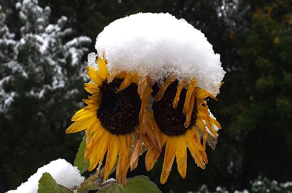 girasoli_neve_Nuova_Zelanda
