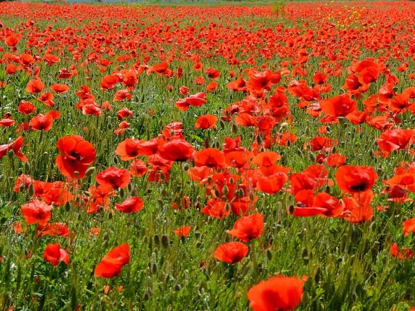 Piscine di papaveri: questa è la meta dei viaggi floreali in Inghilterra. O a Castelluccio di Norcia.