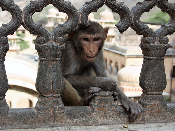 In India non esistono regole per fotografare le scimmie, fate solo attenzione perché sono animali selvatici.