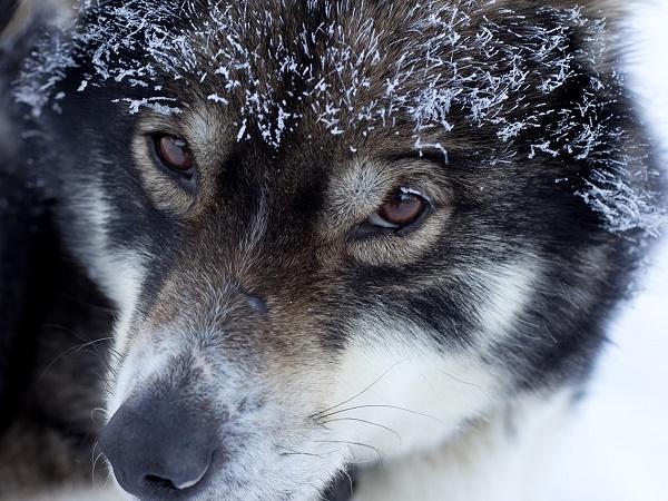 Terzo giorno: escursione in slitta trainata dai cani.