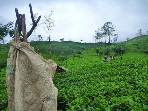 Un tempo lo Sri Lanka si chiamava Ceylon. Il nome rimane ancora a indicare un tè famoso in tutto il mondo, il tè Ceylon appunto.