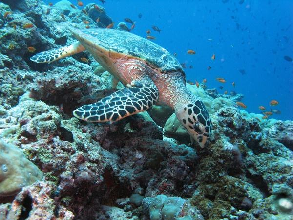 Al mattino si esce in mare per le immersioni… fatta eccezione per gli snorkelisti, che seguono le bolle dei subacquei!