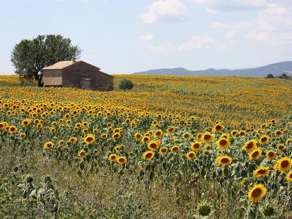 In cerca dei campi di lavanda, scoprirai che abbondano i campi di girasoli, meno inflazionati ma altrettanto belli.