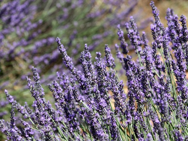 I campi di lavanda in Provenza, sconfinate distese viola.