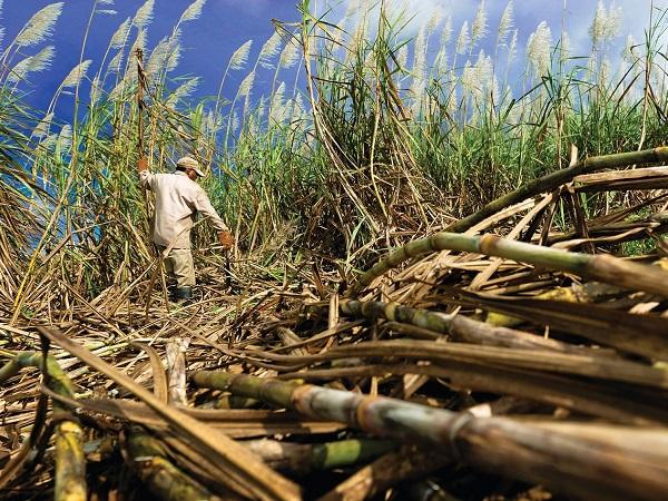 Un'esperienza da non perdere in un'isola caraibica è la visita alle piantagioni di canna da zucchero con assaggio del guarapo de caña.
