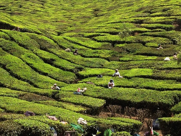 """Il Kerala si trova nel Sud dell'India ed è una sorta di """"isola"""" felice rispetto a gran parte del paese. Il paesaggio è meraviglioso. Si passa dalle ordinate piantagioni di tè, alle incredibili coltivazioni di spezie, alla lussureggiante giungla."""