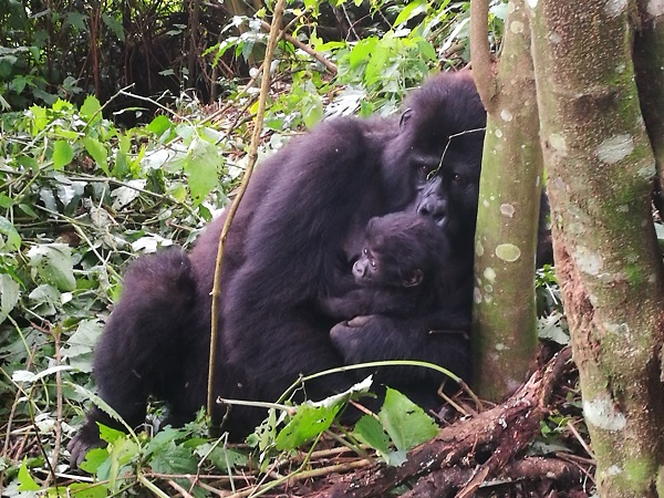 Se, però, cercate un un'esperienza unica, la meta per voi è l'Uganda. Questo è uno dei pochi paesi in cui è ancora possibile incontrare e osservare da vicino i gorilla di montagna.