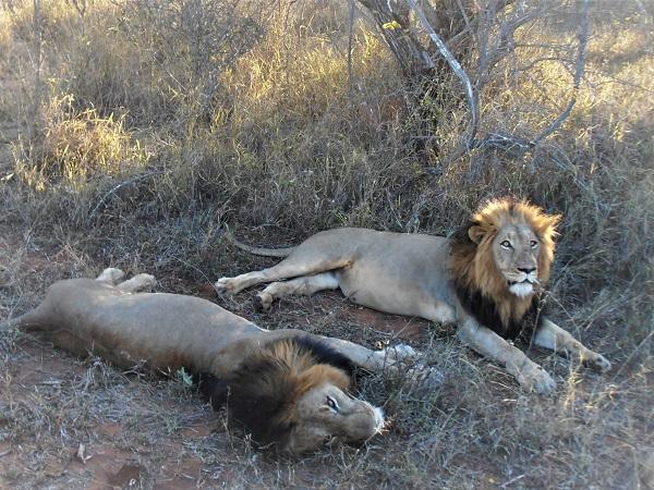 L'Africa in quanto a safari la fa da padrona in quanto gli spazi sconfinati della savana ospitano i grandi felini e l'animale terrestre più grande al mondo, l'elefante africano.