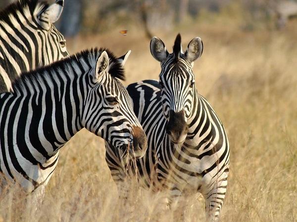 Sebbene l'esperienza del safari possa essere fatta in differenti luoghi del globo, è indubbio che l'Africa la faccia da padrona.
