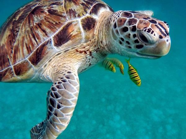 Alle Maldive si nuota con tartarughe, squali nutrice, carangi, razze, mante.