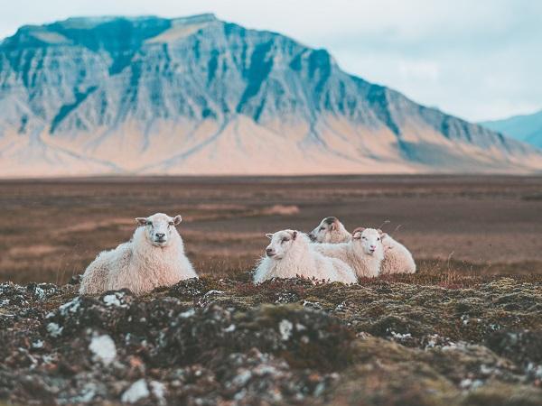 Ci sono più pecore che esseri umani in Islanda, e la differenza è di più di 100.000 unità. Quindi, anche se sono meno fotogeniche dei cavalli, bisogna dare loro spazio adeguato.
