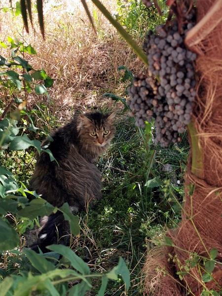 Nascosto tra palme dai frutti velenosi e pronto ad attaccare, avvistiamo un raro esemplare a pelo lungo di Felis catus.