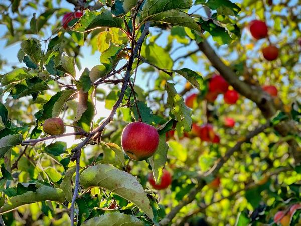 La famosa mela al giorno in Trentino Alto Adige si può sostituire con lo strudel e la scelta salutare assume tutto un altro stile.