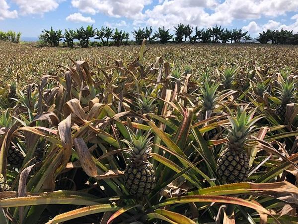 """A Mauritius le strade sono poche, con tempi di percorrenza """"importanti"""", ma l'auto a noleggio è il mezzo migliore per scoprire l'isola con spirito avventuroso. Durante qualsiasi tragitto avrete la compagnia di distese di canne da zucchero e piantagioni di deliziosi ananas nani."""