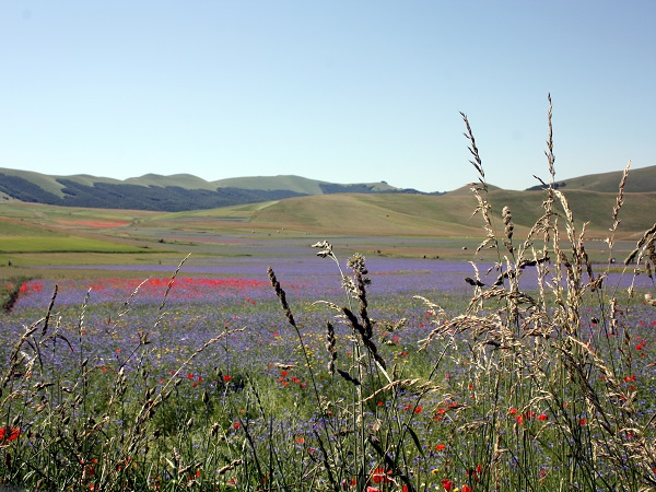 La Provenza è famosa per la magnifica fioritura della lavanda, ma abbiamo anche in Italia una fioritura spettacolare, quella delle lenticchie, a Castelluccio di Norcia, nel parco dei Monti Sibillini.