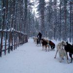 Cani husky al Circolo Polare Artico