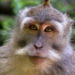 Scimmia nella Monkey Forest