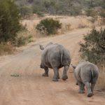 Famiglia di rinoceronti