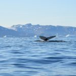 Coda di balena nel fiordo di Sermilik
