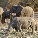 Elefanti e rinoceronte
