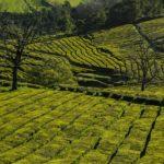Piantagione di tè Gorreana