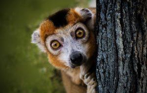 Lemure maki