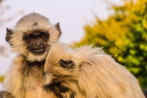 Scimmie a Rajakpur