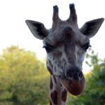 Giraffa durante il safari