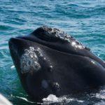 Avvistamento cetacei a Hermanus