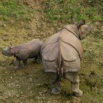 Incontri al parco Chitwan: rinoceronti