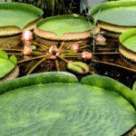 Ninfee Victoria in Amazzonia