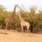 Avvistamenti durante il safari