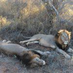 Due leoni maschi