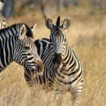Zebre durante il safari