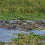 Ippopotami nel Ngorongoro