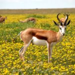 Antilopi nella savana fiorita