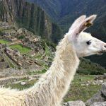 Lama al Machu Picchu