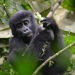 Un piccolo di gorilla