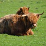 Bestiame nella valle dello Speyside