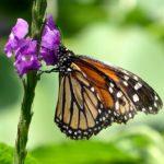 Il 18% delle specie di farfalle mondiali si trova in Costa Rica