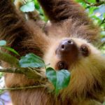 Nei parchi del Costa Rica è possibile imbattersi nei bradipi