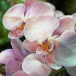 Molte specie di orchidee sono originarie del Costa Rica