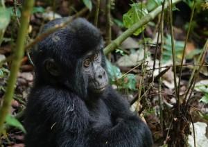 Mgahinga National Park: Gorilla Trekking.jpg