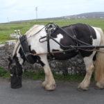 Cavallo irlandese