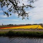 Campi di tulipani