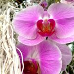 Orchidee al giardino botanico di Singapore
