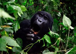 Lake Bunyonyi: Gorilla Safari.jpg