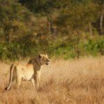 Uno degli avvistamenti più ambiti al Kruger