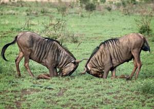 (31/12/2020) Arusha - Tarangire (circa 2h).jpg