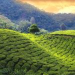 Piantagione di tè a Munnar